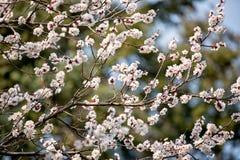 Albero di fioritura in primavera con i fiori dentellare Fotografia Stock