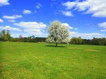 Albero di fioritura solo in un campo Immagini Stock