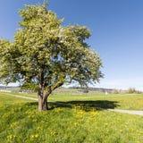 Albero di fioritura in Svizzera Fotografia Stock