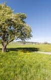 Albero di fioritura in Svizzera Fotografie Stock