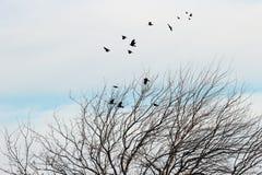 Albero di gelso di Raven Fotografia Stock