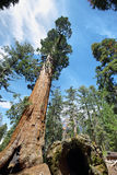 Albero di generale Sherman in foresta gigante del parco nazionale della sequoia Fotografia Stock