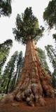 Albero di generale Sherman in foresta gigante del parco nazionale della sequoia Immagini Stock