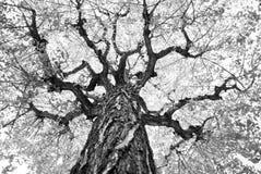 Albero di Ginko durante l'autunno in bianco e nero Immagine Stock