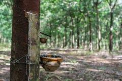 Albero di gomma Fotografia Stock Libera da Diritti