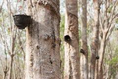 Albero di gomma alla Tailandia del sud Fotografie Stock