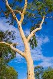 Albero di gomma australiano fotografia stock libera da diritti