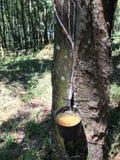 Albero di gomma, ciotola di gomma della raccolta nel sao Paulo Stare Brazil della piantagione immagine stock