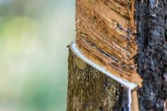Albero di gomma con goccia della gomma naturale alla piantagione Immagini Stock