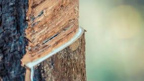 Albero di gomma con goccia della gomma naturale alla piantagione Fotografia Stock Libera da Diritti