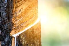 Albero di gomma con goccia della gomma naturale alla piantagione Immagine Stock