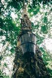 albero di gomma con il vaso del lattice alla luce di giorno Immagine Stock Libera da Diritti