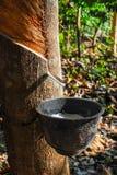 Albero di gomma con gomma naturale nella goccia bianca di colore del latte alla ciotola nel Nord della Tailandia Immagini Stock Libere da Diritti