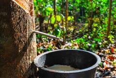 Albero di gomma con gomma naturale nella goccia bianca di colore del latte alla ciotola nel Nord della Tailandia Fotografia Stock Libera da Diritti