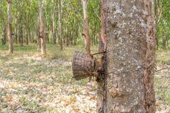 Albero di gomma della piantagione Fotografia Stock Libera da Diritti