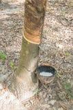 Albero di gomma ed alto vicino della tazza Immagine Stock