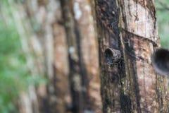 Albero di gomma nella fila ad una piantagione dell'albero di gomma Fotografie Stock