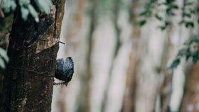 Albero di gomma nella fila ad una piantagione dell'albero di gomma Immagini Stock Libere da Diritti