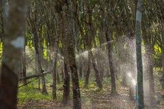Albero di gomma nella fila ad una piantagione dell'albero di gomma Immagine Stock