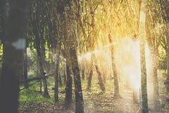 Albero di gomma nella fila ad una piantagione dell'albero di gomma Immagini Stock