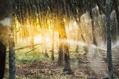 Albero di gomma nella fila ad una piantagione dell'albero di gomma Fotografia Stock