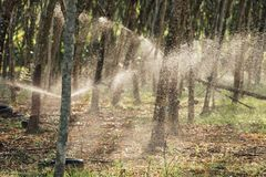Albero di gomma nella fila ad una piantagione dell'albero di gomma Immagine Stock Libera da Diritti