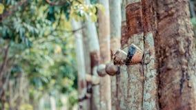 Albero di gomma nella fila ad una piantagione dell'albero di gomma Fotografia Stock Libera da Diritti