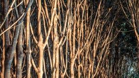 Albero di gomma nella fila ad una piantagione dell'albero di gomma Fotografie Stock Libere da Diritti