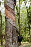 Albero di gomma spillato, Malesia Immagini Stock