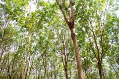 Albero di gomma in Tailandia Fotografia Stock Libera da Diritti