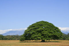 Albero di Guanacaste fotografia stock