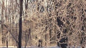 Albero di inverno Brina sui rami di albero Foresta innevata nell'inverno archivi video