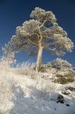 Albero di inverno dello Snowy. Immagine Stock