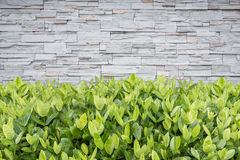 Albero di Ixora Fiore tropicale nella decorazione del giardino e in wa della pietra Immagine Stock
