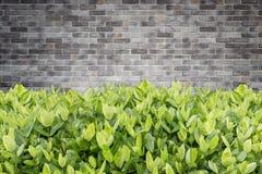 Albero di Ixora Fiore tropicale nella decorazione del giardino e in wa della pietra Fotografia Stock Libera da Diritti
