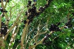 Albero di Jaboticaba o di Jabuticaba in pieno dei frutti violaceo-neri Fotografia Stock