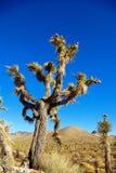 albero di joshua Fotografia Stock