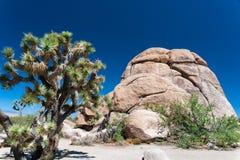 Albero di Joshua accanto ad una roccia Immagine Stock