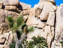 Albero di Joshua con le rocce nel parco nazionale dell'albero di Joshua Fotografie Stock Libere da Diritti