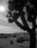 Albero di Joshua in deserto Fotografia Stock