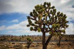 Albero di Joshua incombente nel deserto Fotografia Stock