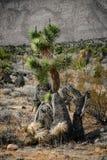 Albero di Joshua nel deserto Immagine Stock