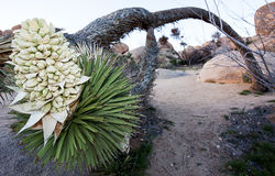 Albero di Joshua pendente a Joshua Tree National Park Fotografia Stock