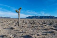 Albero di Joshua solo nel deserto di Mojave Immagini Stock Libere da Diritti