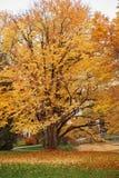 Albero di Katsura in autunno fotografie stock libere da diritti