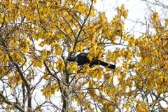 Albero di Kowhai in fioritura con l'alimentazione di Tui immagine stock