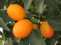 Albero di kumquat Immagini Stock Libere da Diritti