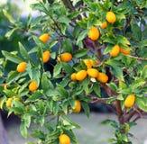 Albero di kumquat Fotografie Stock