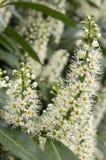 Albero di lauro ceraso in fioritura, fiori e foglie Immagini Stock