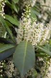 Albero di lauro ceraso in fioritura, fiori e foglie Immagini Stock Libere da Diritti